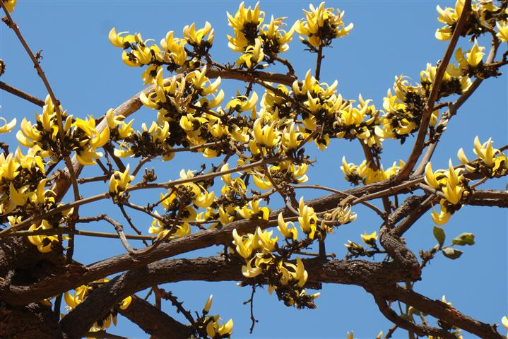 Yellow Palash